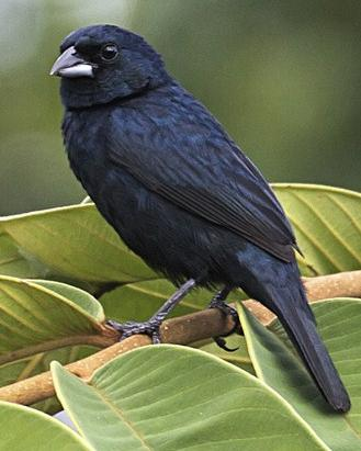 Blue-black Grassquit