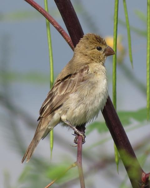 Ruddy-breasted Seedeater