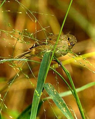 Dull-colored Grassquit