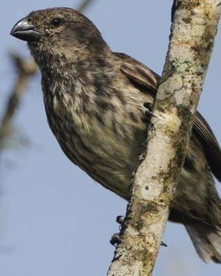 Medium Tree-Finch