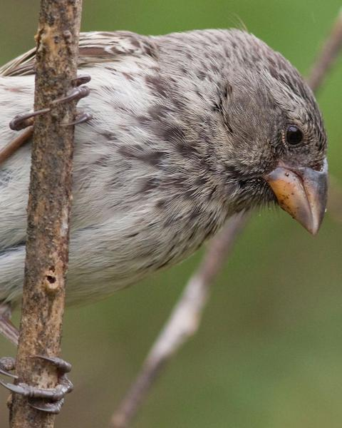 Medium Ground-Finch