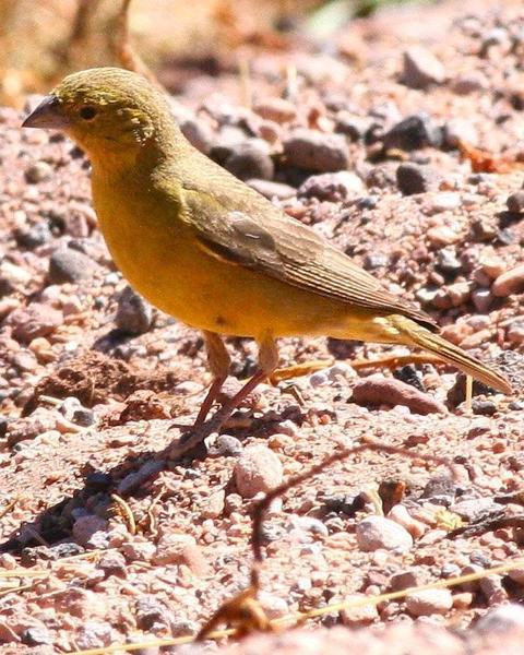 Puna Yellow-Finch