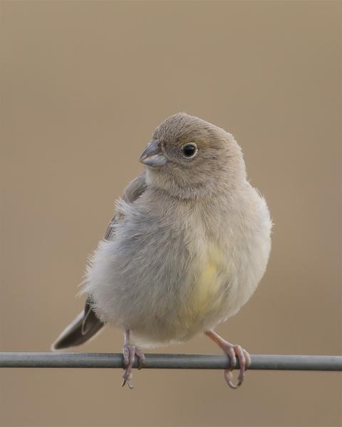 Patagonian Yellow-Finch