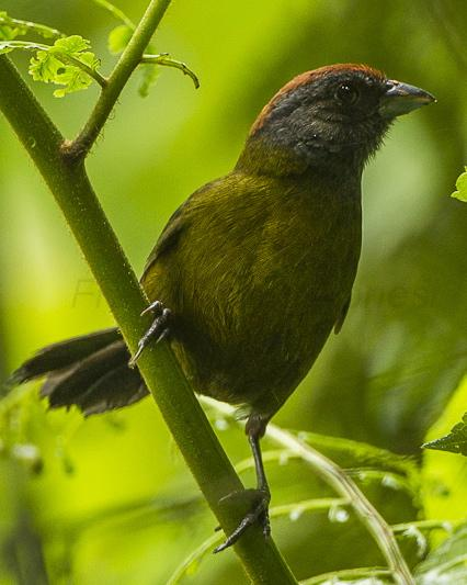 Olive Finch
