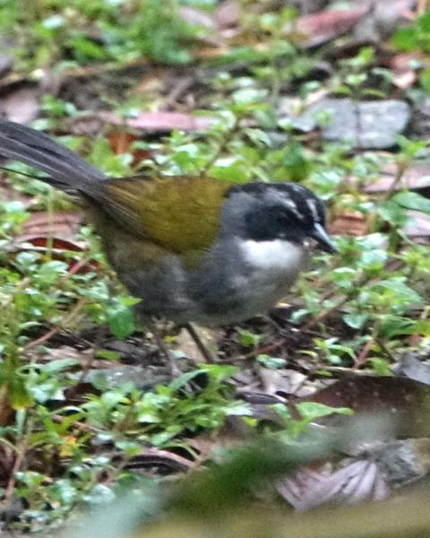 Gray-browed Brushfinch