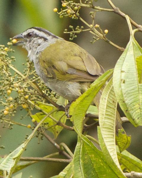 Black-striped Sparrow