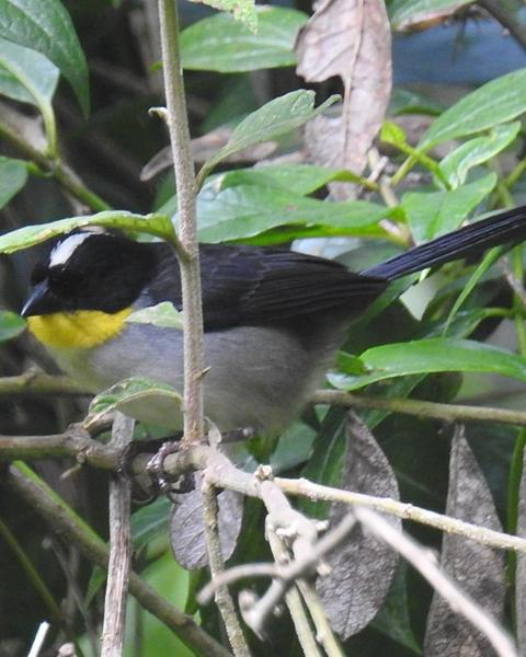 White-naped Brushfinch