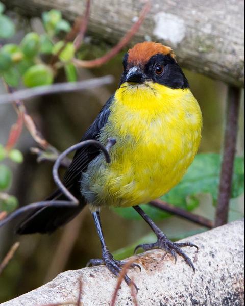 Yellow-breasted Brushfinch