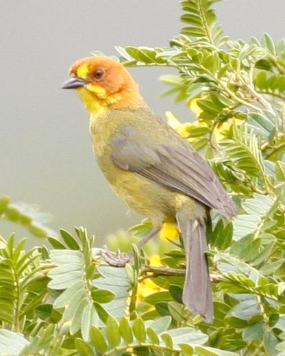 Fulvous-headed Brushfinch