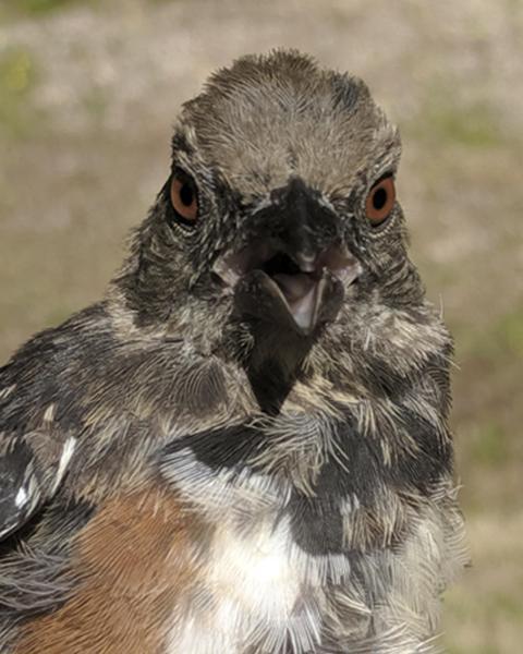 Spotted Towhee (oregonus Group)