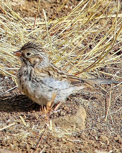 Brewer's Sparrow