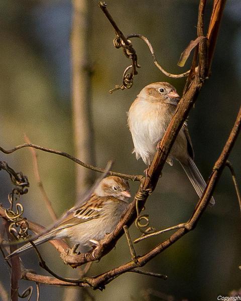 Field Sparrow