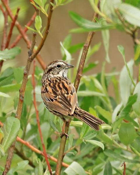 Sierra Madre Sparrow