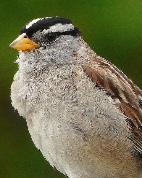 White-crowned Sparrow (pugetensis)