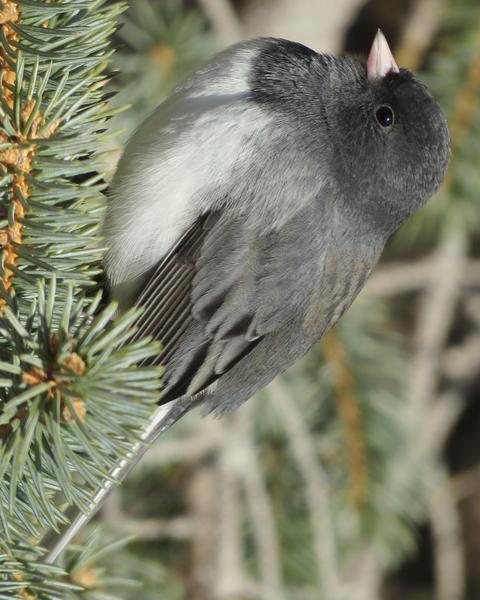 Dark-eyed Junco (Slate-colored)
