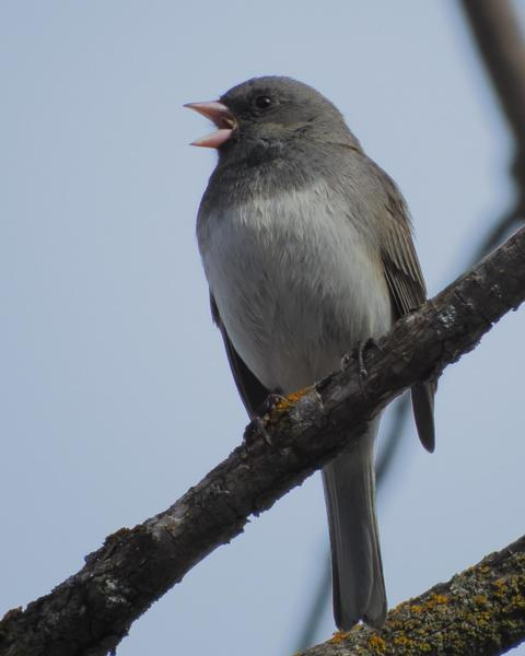 Dark-eyed Junco (Slate-colored)