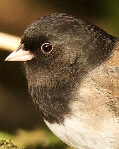 Dark-eyed Junco (Oregon)