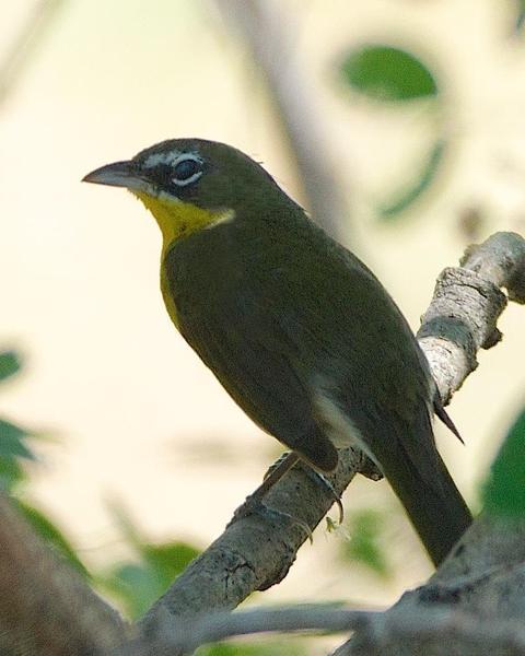 Common Chlorospingus (Southwest Mexico)