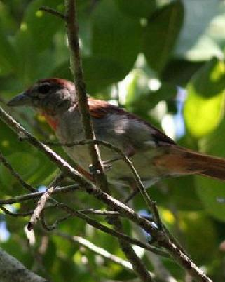 Rose-throated Tanager
