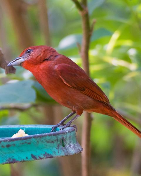 Hepatic Tanager