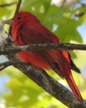 Summer Tanager (Eastern)