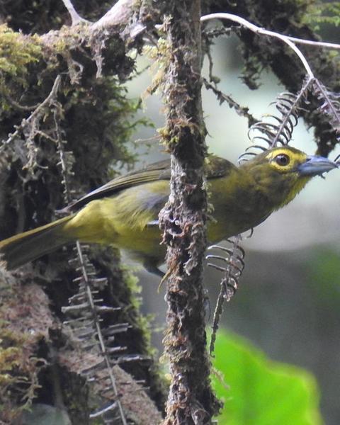 Lemon-spectacled Tanager