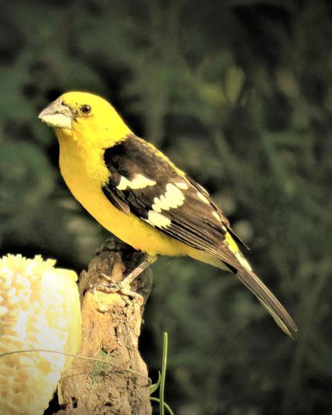 Golden Grosbeak