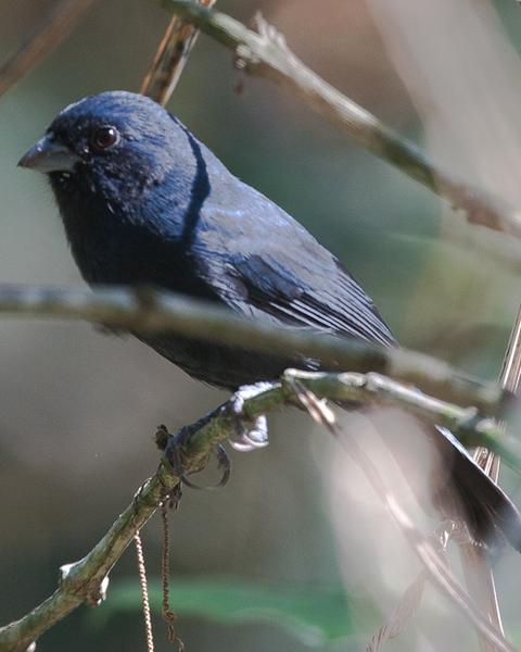 Blue Seedeater