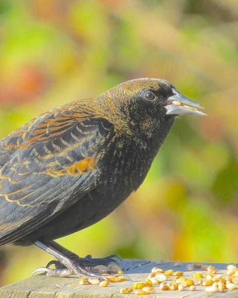Red-winged Blackbird (Red-winged)