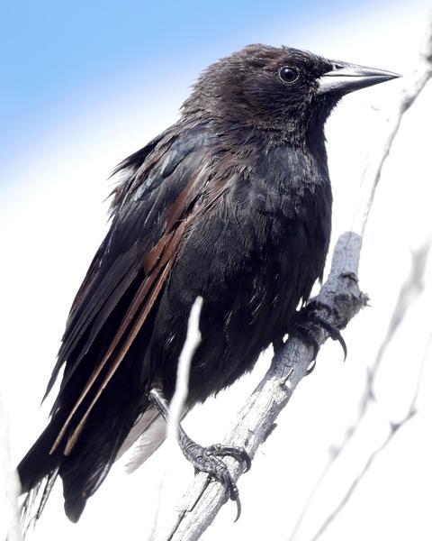 Austral Blackbird