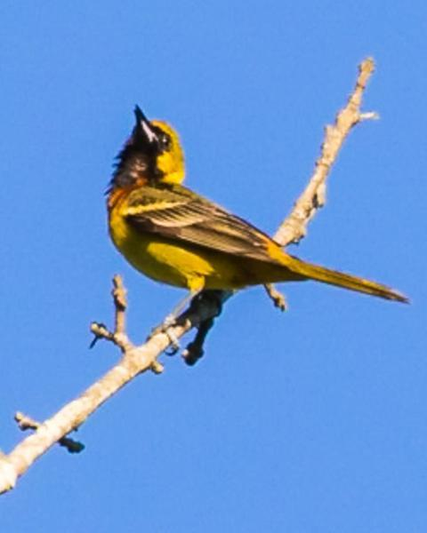 Orchard Oriole
