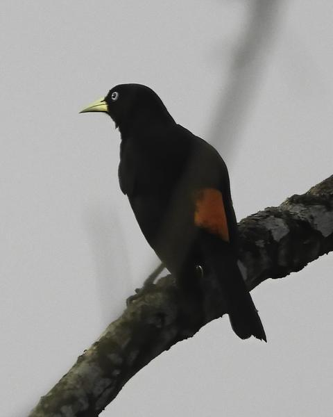 Scarlet-rumped Cacique (Pacific)