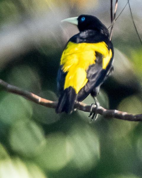Yellow-rumped Cacique