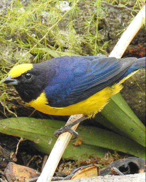 Orange-bellied Euphonia