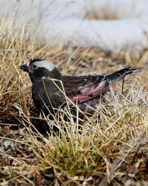 Black Rosy-Finch