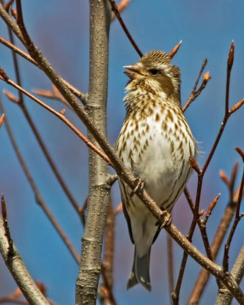 Purple Finch (Eastern)