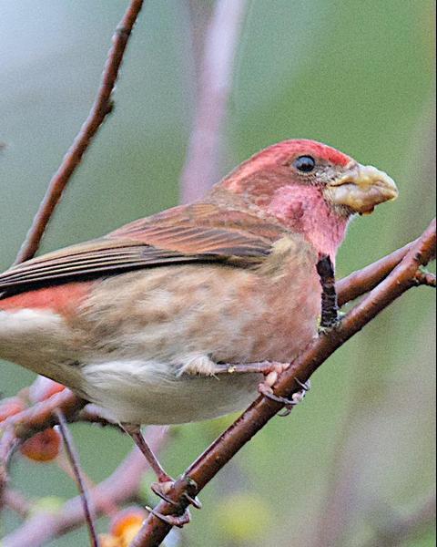 Purple Finch (Western)
