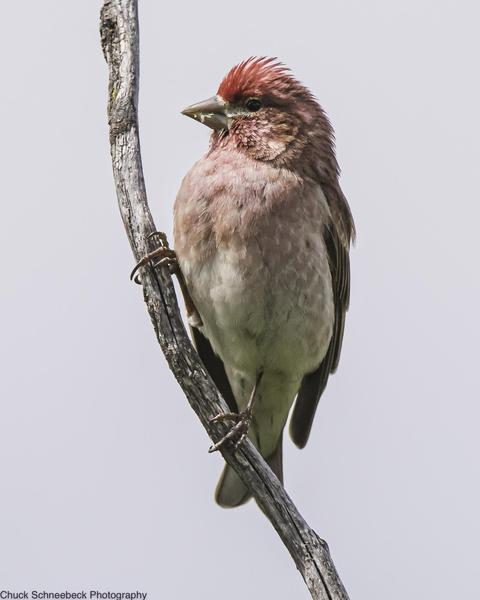 Cassin's Finch