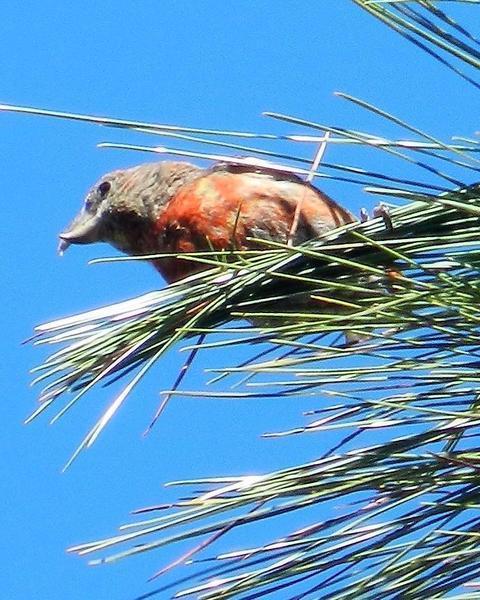Hispaniolan Crossbill