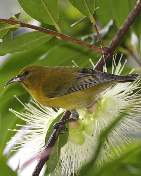 Oahu Amakihi