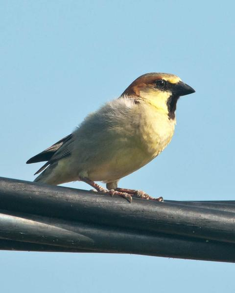 Plain-backed Sparrow