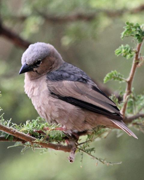 Gray-headed Social-Weaver