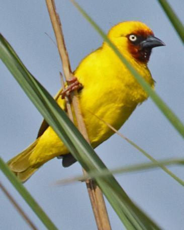 Northern Brown-throated Weaver