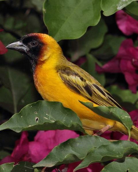 Northern Masked-Weaver