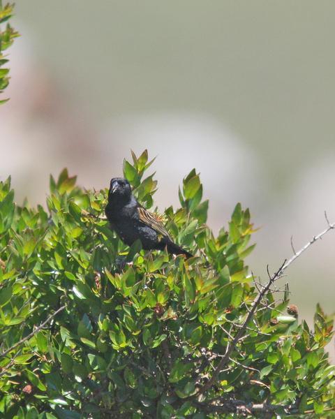 White-winged Widowbird