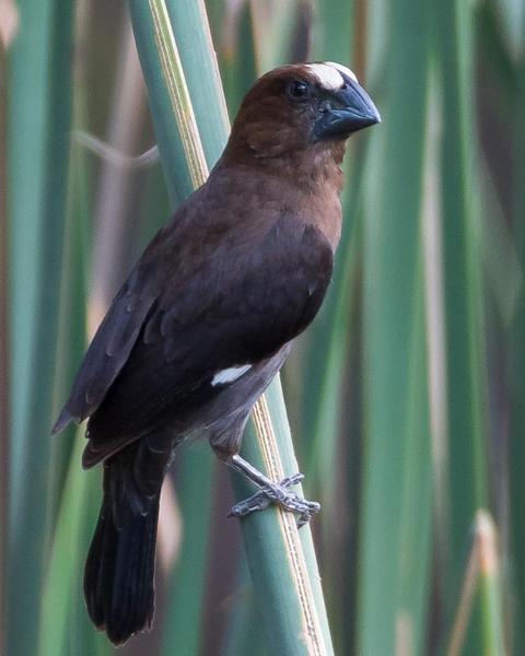 Grosbeak Weaver