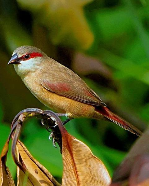 Crimson-rumped Waxbill