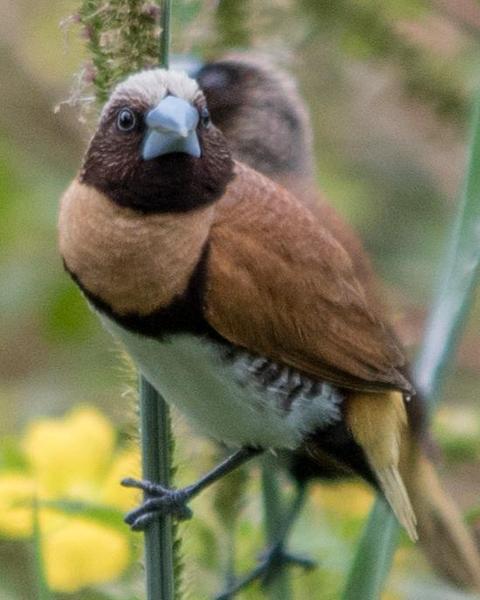 Chestnut-breasted Munia