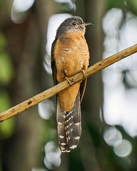 Brush Cuckoo (Rusty-breasted)