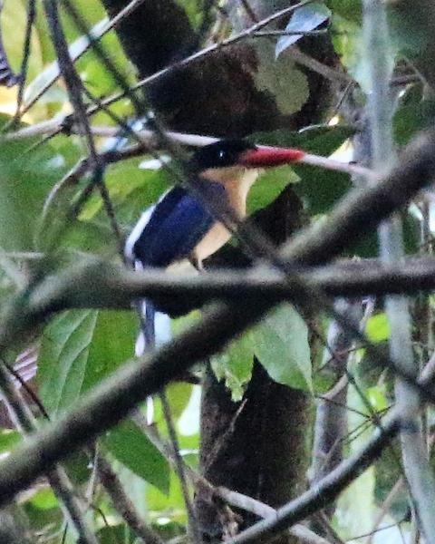 Black-capped Paradise-Kingfisher
